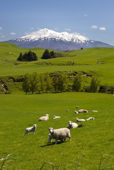 Sheep Grazing Beneath Mount Ruapehu-Stuart-Photographic Print
