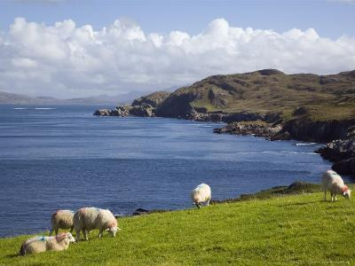 Sheep Grazing by Rugged Coastline of Coulagh Bay on Ring of Beara Tourist Route-Pearl Bucknall-Photographic Print
