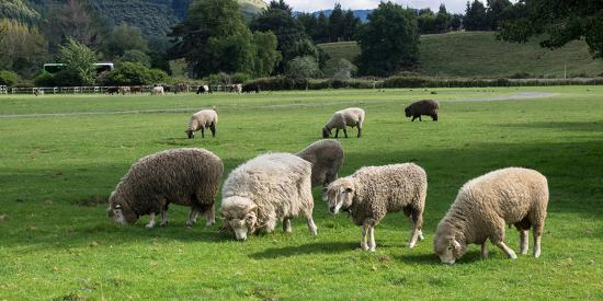 Sheep grazing in a field, Agrodome, State Highway 5, Rotorua, ay of Plenty, North Island, New Ze...--Photographic Print