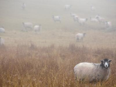 Sheep Grazing in a Field on a Foggy Day-Dawn Kish-Photographic Print
