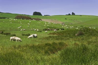 Sheep Grazing in Green Field Near Dunedin, South Island, New Zealand-Jaynes Gallery-Photographic Print