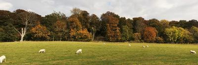 Sheep Grazing in Meadow, Northumberland, England-Design Pics Inc-Photographic Print