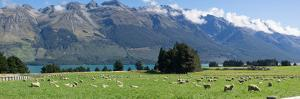 Sheep grazing in pasture near Blanket Bay Lodge, Lake Wakatipu, New Zealand