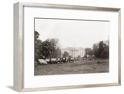 Sheep Grazing on the White House Lawn. During World War 1 from 1916 to 1919