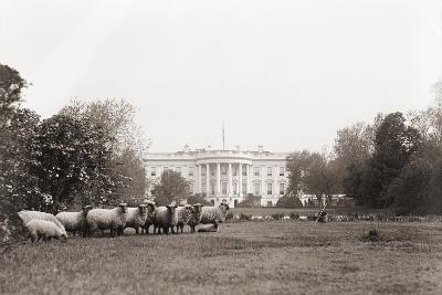 Sheep Grazing on the White House Lawn. During World War 1 from 1916 to 1919--Photo