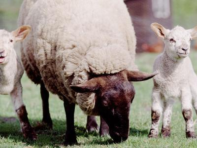 Sheep Grazing with Young Lambs--Photographic Print