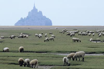 Sheep Grazing-David Nunuk-Photographic Print
