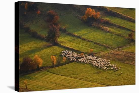 Sheep Herd At Sunset-Cristian Lee-Stretched Canvas Print