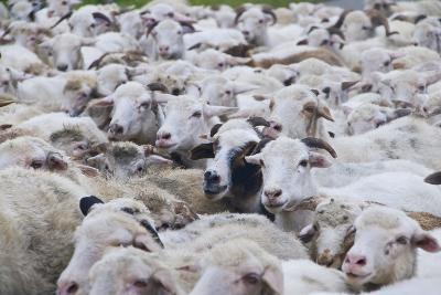 Sheep Herd in Kakheti, Georgia, Caucasus-Michael Runkel-Photographic Print
