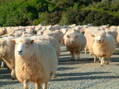 Sheep Herd, New Zealand-William Sutton-Photographic Print