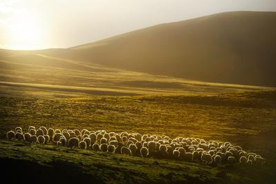 Sheep Herd on Meadows in Evening Light-coolbiere photograph-Photographic Print