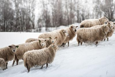 Sheep Herd Waking on Snow Field-coolbiere photograph-Photographic Print