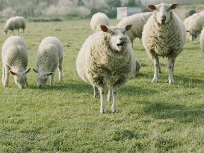 Sheep in a Field in Brittany-Nicole Duplaix-Photographic Print