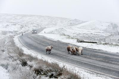 Sheep in a Wintry Landscape on the Mynydd Epynt Moorland, Powys, Wales, United Kingdom, Europe-Graham Lawrence-Photographic Print