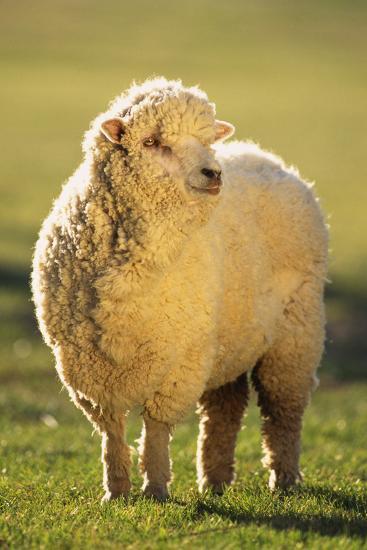 Sheep in Grass-DLILLC-Photographic Print