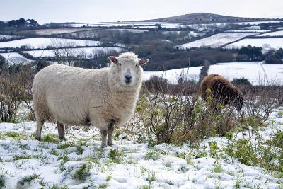 Sheep in Snow--Photographic Print