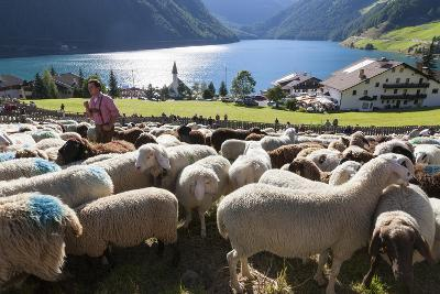 Sheep in the Alps Between South Tyrol, Italy, and North Tyrol, Austria-Martin Zwick-Photographic Print