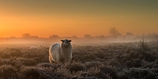 Sheep in the Mist-Rijko Ebens-Photographic Print