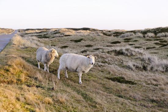 Sheep in the Wayside, List, Island Sylt, Schleswig-Holstein, Germany-Axel Schmies-Photographic Print