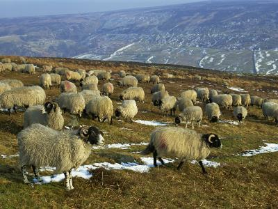 Sheep in Winter, North Yorkshire Moors, England, United Kingdom, Europe-Rob Cousins-Photographic Print