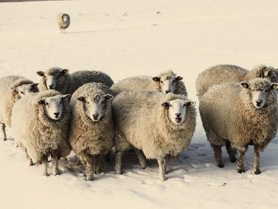 Sheep in winter-Edvard March-Photographic Print