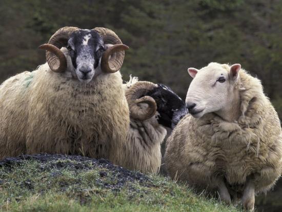 Sheep, Isle of Skye, Scotland-Art Wolfe-Photographic Print