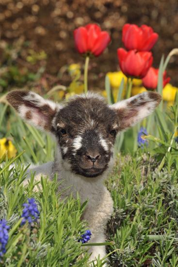 Sheep Lamb in Spring Flowers--Photographic Print