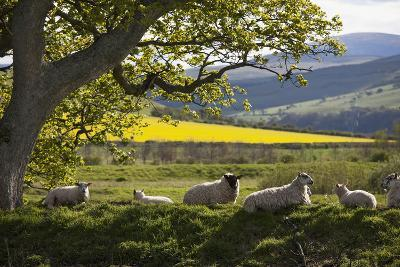 Sheep Laying on the Grass under a Tree; Northumberland England-Design Pics Inc-Photographic Print