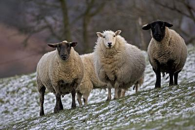 Sheep Mixture of Suffolk and Welsh Mountain Breeds--Photographic Print
