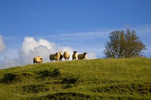 Sheep Near Athenry,County Galway, Ireland