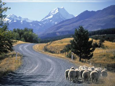 Sheep Nr. Mt. Cook, New Zealand-Peter Adams-Photographic Print
