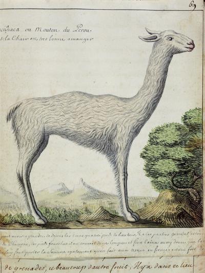 Sheep of Peru--Giclee Print