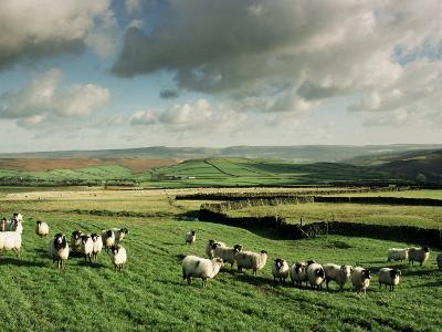 Sheep on Abney Moor on an Autumn Morning, Peak District National Park, Derbyshire, England-David Hughes-Photographic Print