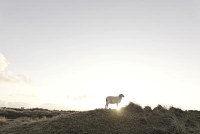 Sheep on Dune, the Sun, Back Light, List, Island Sylt, Schleswig Holstein, Germany-Axel Schmies-Photographic Print