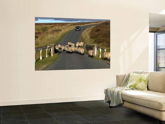 Sheep on Road, North York Moors National Park-Doug McKinlay-Wall Mural