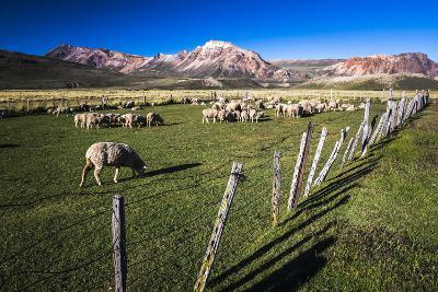 Sheep on the Farm at Estancia La Oriental, Argentina-Matthew Williams-Ellis-Photographic Print