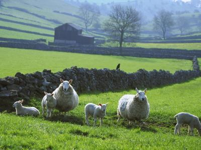 Sheep Ovis Aries-Mark Hamblin-Photographic Print