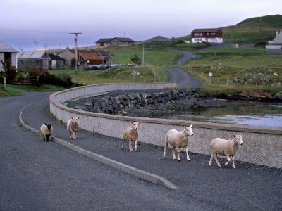 Sheep Rearing Is One of the Main Economic Activities in Shetland, Shetland Islands, Scotland, UK-Patrick Dieudonne-Photographic Print