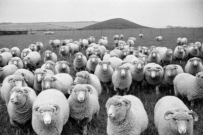 Sheep's Eyes-Raymond Kleboe-Photographic Print