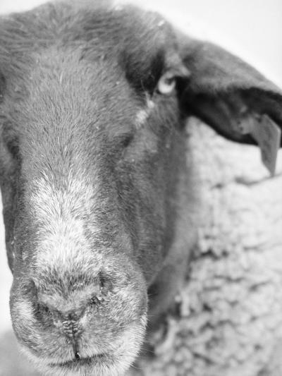Sheep's Face-Henry Horenstein-Photographic Print