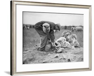 Sheep Shearer--Framed Photographic Print