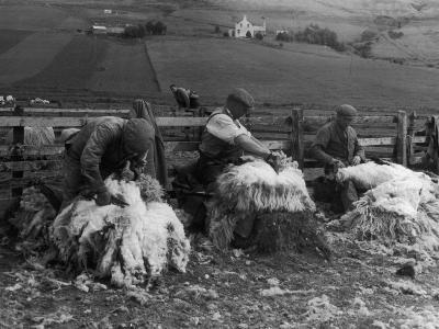 Sheep Shearing at Carbost, Isle of Skye, Scotland--Photographic Print