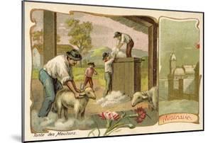 Sheep Shearing, Australia