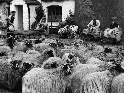 Sheep Shearing--Photographic Print