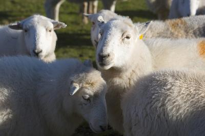 Sheep, Snowdonia, Wales, UK-Peter Adams-Photographic Print