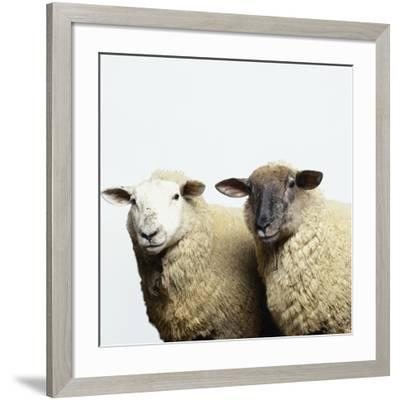 Sheep Standing Side by Side-Adrian Burke-Framed Photographic Print