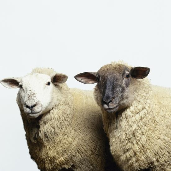 Sheep Standing Side by Side-Adrian Burke-Photographic Print