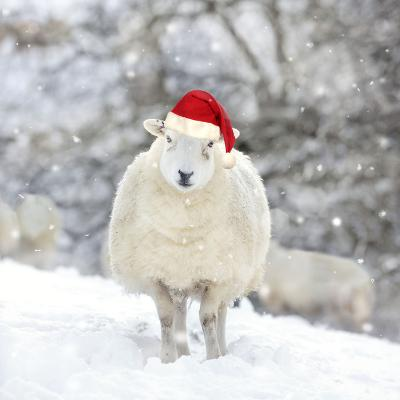 Sheep Texel Ewe in Snow Wearing Christmas Hat--Photographic Print