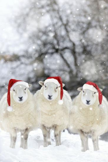 Sheep Texel Ewes in Snow Wearing Christmas Hats--Photographic Print