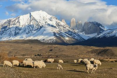 Sheep, Torres Del Paine National Park, Patagonia, Chile, South America-Pablo Cersosimo-Photographic Print